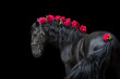 canvas print picture - Horse portrait in bridle isolated on black background with pions in mane