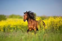 Bay Horse With Long Mane On Rape Field