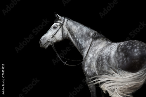 Fototapeta White Horse portrait in bridle isolated on black background obraz