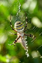 Wasp Spider (Argiope Bruenichii)