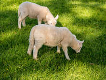 Young Lambs Enjoying The Late Spring Sunshine On The Edges Of Derwentwater, Cumbria, UK