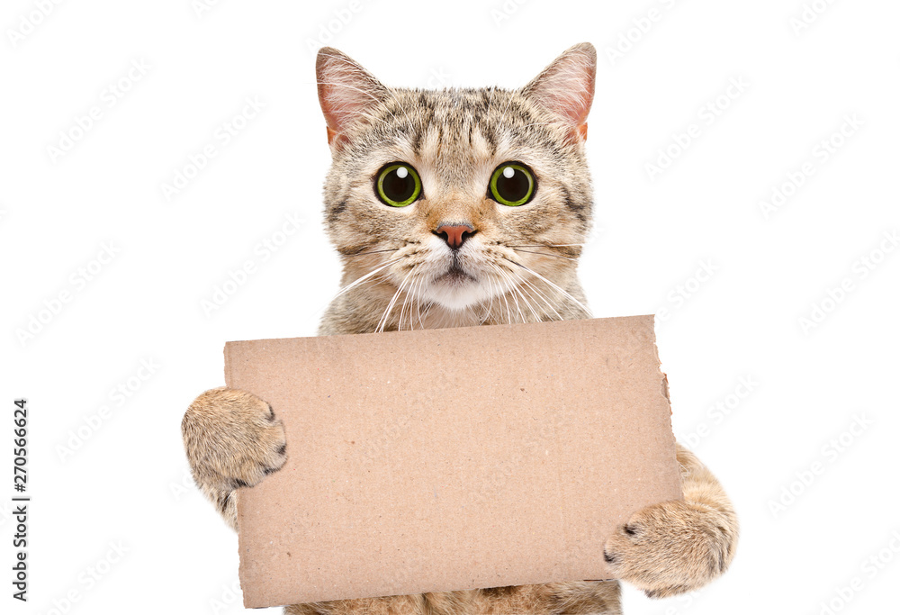 Fototapeta Portrait of a cat Scottish Straight with a carton banner in paws isolated on white background