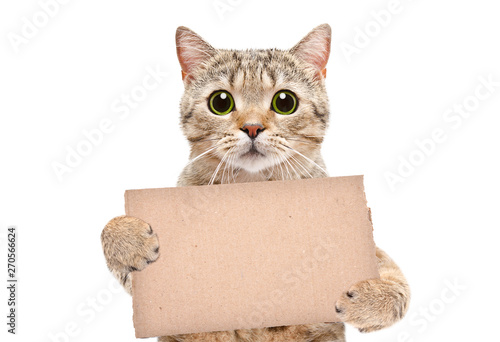 Foto  Portrait of a cat Scottish Straight with a carton banner in paws isolated on whi