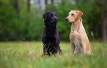 Two Labradors Sitting On A Spr...