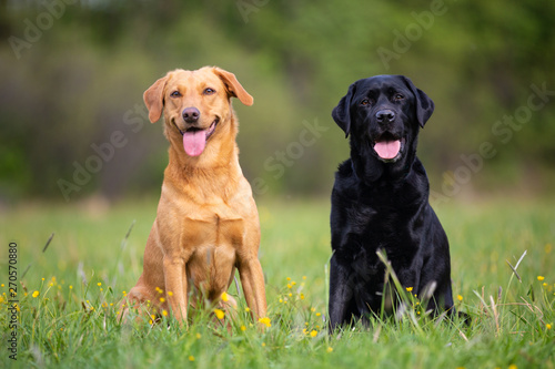Two labradors sitting on a spring meadow Poster Mural XXL