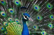 Foreground Portrait Blue Male Peacock With Feathers Out