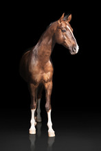 Brown Akhalteke Horse With White Line On Face And White Legs Stands  On Dark Background