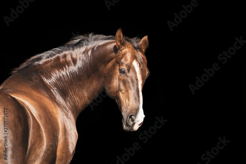 portrait of a brown akhal-take with white line on the face horse