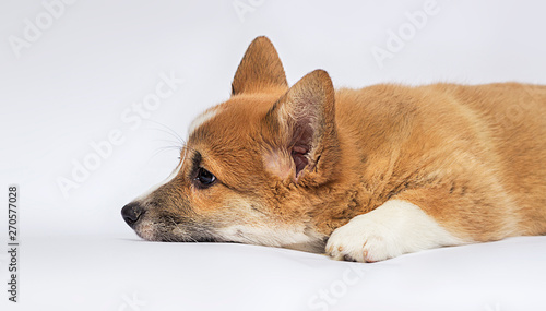 sad puppy looks on a white background, welsh corgi breed