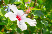 White Hibiscus Flower. Wellness And Spa Background With Copy Space.