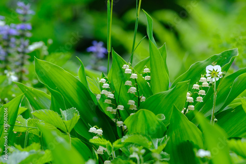 Tuinposter Lelietje van dalen Blooming lilies of the valley