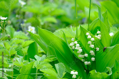 Photo Stands Lily of the valley Blooming lilies of the valley