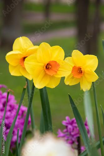 Vászonkép Spring flowers yellow daffodils. beautiful yellow flowers.