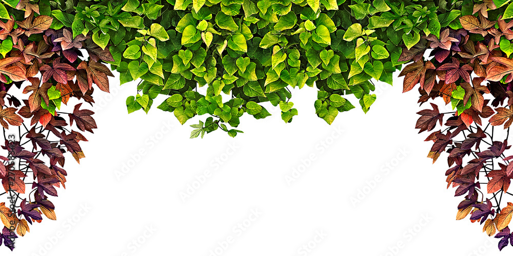 Fototapety, obrazy: frame of the climbing plant isolated on white background
