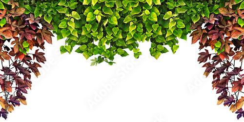 Carta da parati frame of the climbing plant isolated on white background
