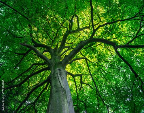 Blick in das Blätterdach eines begrünten Laubbaums Fototapeta