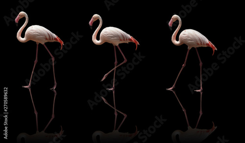 Poster Vogel beautiful pink flamingo posing. isolated on black background
