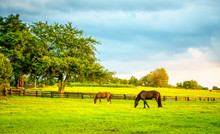 Two Horses Grazing On A Farm I...