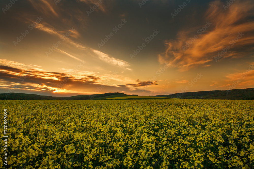 Fototapety, obrazy: Blooming yellow fields of rapeseed  flowers in countryside at sunset sky