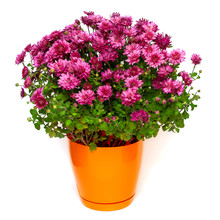 Pink Chrysanthemum Flowers Autumn In Orange Pot Isolated On White Background. Beautiful Plant, Garden Concept. Flat Lay, Top View