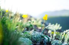 Yellow Wild Tulips In The Moun...