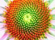 canvas print picture - Center of the beautiful coneflower showing fibonacci pattern
