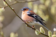 Chaffinch (Fringilla Coelebs), Perched In A Tree, Quantock Hills, Somerset, England, UK.