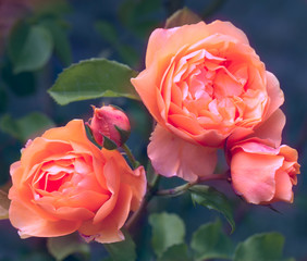 Obraz na SzkleBeautiful living coral roses flowers in garden close up. Tinted effect