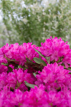 Blooming Pink Rhododendron Bush In The Garden.
