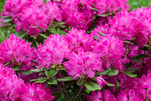 Blooming Pink Rhododendron Bus...