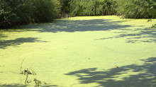 Paysage D'eau Verte , Mare ,canal Au Printemps
