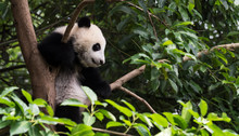 Lovely Giant Panda Bear Cub In...