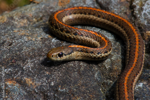 Fototapeta Snake closeup with sharp background