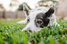 Old Cattle Dog Laying In Grass
