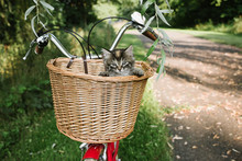 Kittens In A Bicycle Basket.