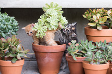Kittens Planing In Plant Pots.