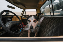 Tri-colored Cattle Dog Inside Old Pickup
