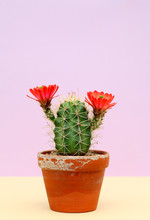 Cute Little Cactus With Big Red Flowers