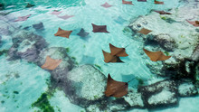 A Lot Of Young Sting Rays Swim...