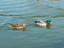 Male And Female Mallard Duck Swimming On A Pond With Green Water