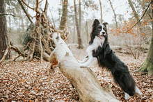 Border Collie Standing On Trunk In The Forest
