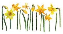 Set Of Watercolor Yellow Narcissus