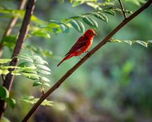 Summer Tanager Bird On Tree Br...