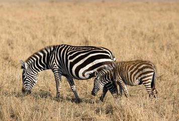 Fototapeta na wymiar Mother and baby grazing at Masai Mara, Kenya