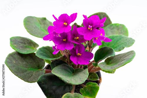 purple violet in flower pots