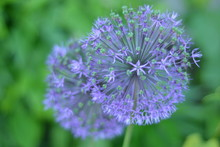 Flower, Purple, Nature, Onion, Garden, Plant, Green, Onion, Spring, Summer, Flowering, Bloom, Macro, Flowers, Flora, Close-up, Garlic, Beauty, Botany, Beautiful, Lilac, Purple
