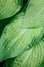 Hosta Leaves With Rain Droplets On Them.