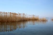 Dried Phragmite Grass In A Calm Lake