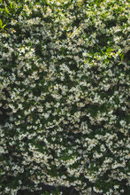 Wall Of Tiny White Flowers In Bloom