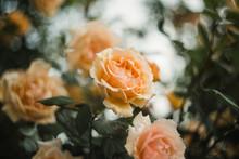 Gentle Creamy Hues Shrub Roses